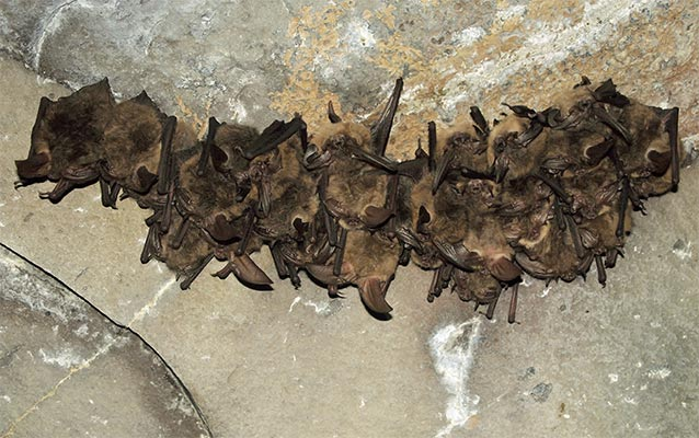 large group of brown bats hanging from a cave ceiling
