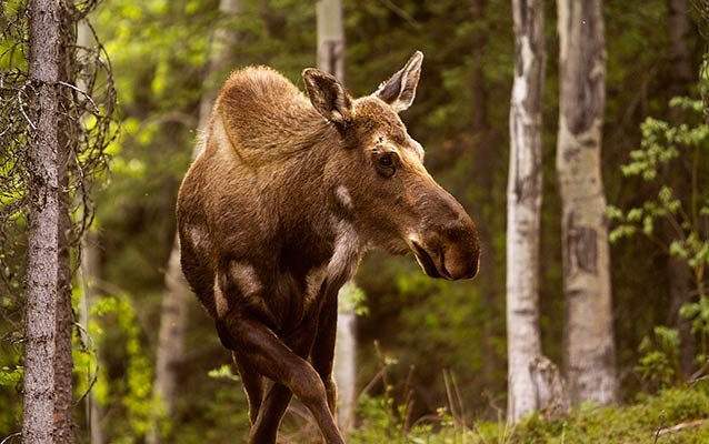a young moose in a forest of white-barked aspen trees