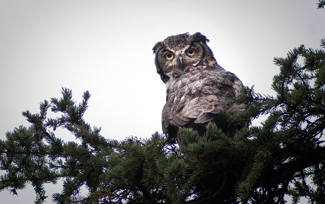 a great horned owl in a spruce bough
