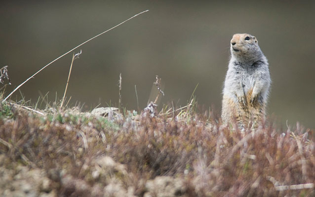 an arctic ground squirrel peeks out over grass