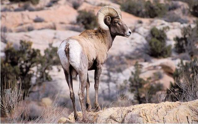 Bighorn Sheep - Arches National Park (U.S. National Park Service)
