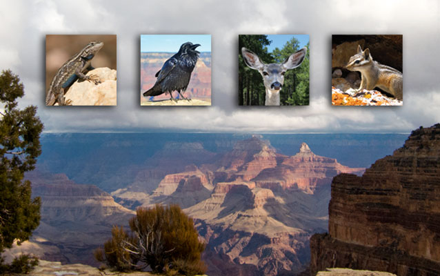 Lizard, raven, deer and chipmunk, each in separate squares, superimposed in the sky over Grand Canyon