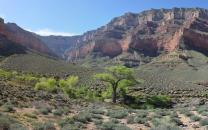 Cottonwood trees growing by Burro Spring on the Tonto Platform, 3,060 ft (933 m) below the South Rim.