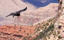 Condor soaring over Grand Canyon.