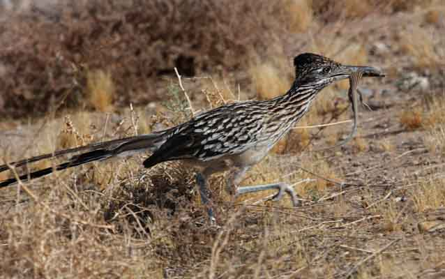Roadrunner with lizard in beak