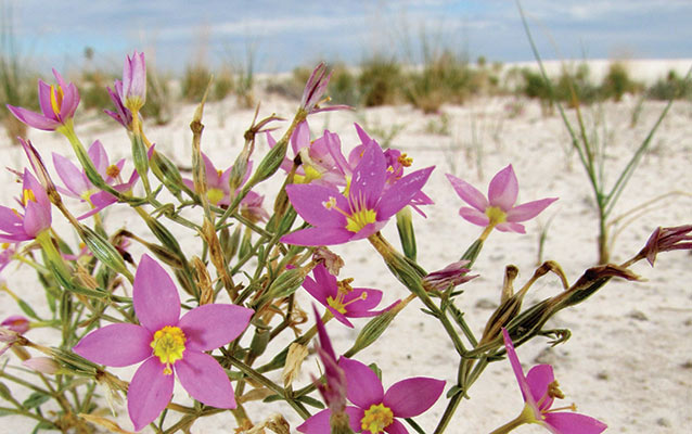 Centaury growing in the gypsum sand