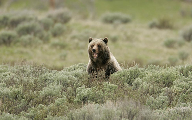 A Grizzly bear sits in sagebrush.