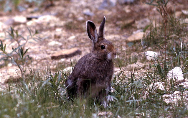 A Snowshoe hare sititng in the grass