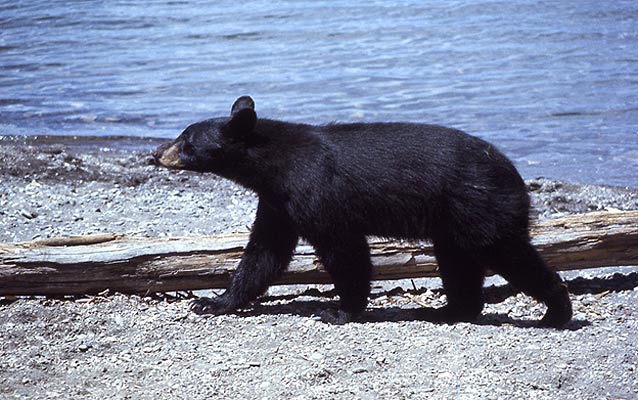 A black bear walks on a gravel shoreline next to a body of water