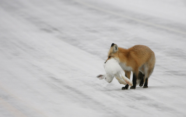 A fox holds a rabbit in its jaws