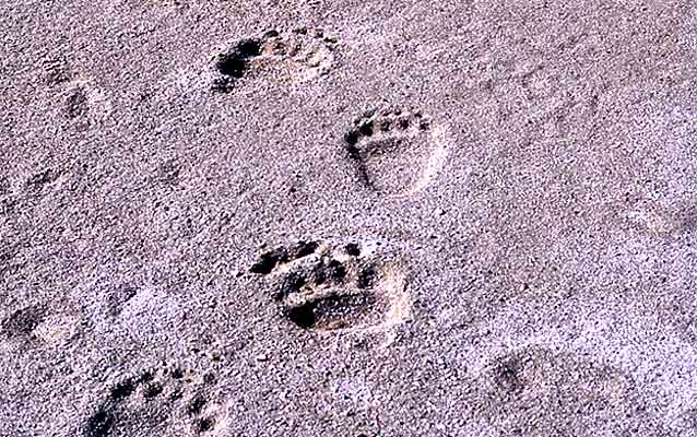 Grizzly bear tracks in the dirt