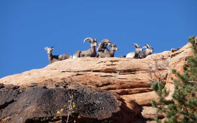Bighorn sheep laying on sandstone.
