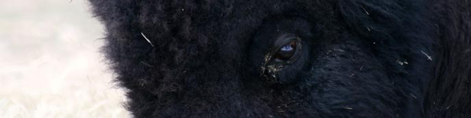 Bison close-up
