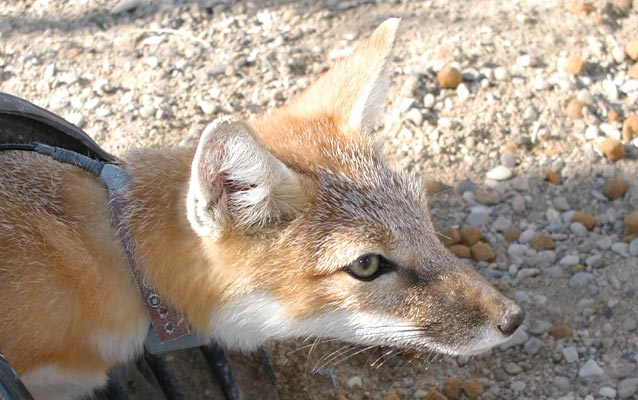 Swift fox, National Park Service photograph