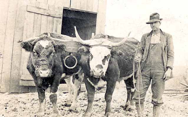 A homesteader with his team of oxen.