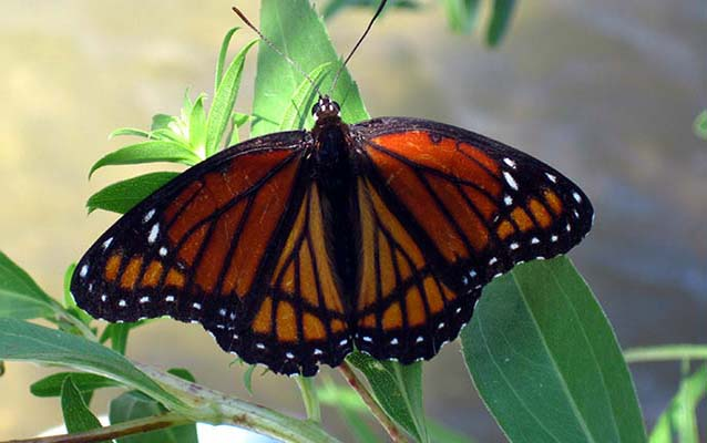 An Eastern Viceroy lands on a plant along the river.