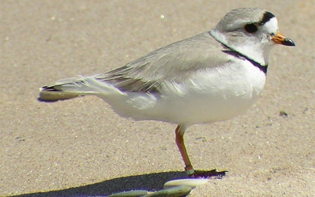 Great Lakes Piping Plover