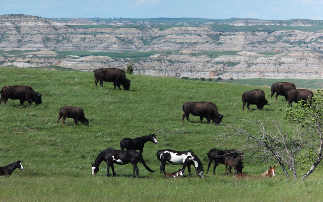Bison and feral horses grazing on the prairie.