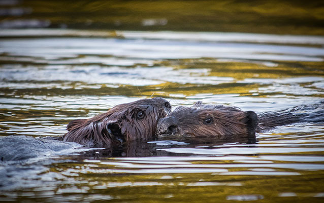 Two beavers in water.