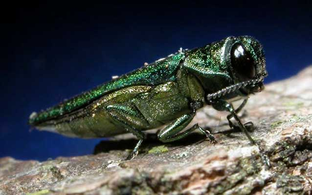 Emerald Ash Borer - Invasive Species