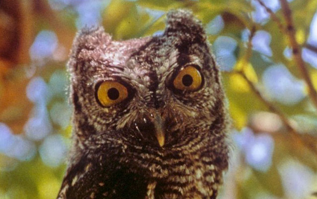 An owl stares at the camera.