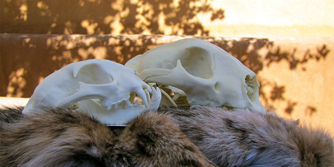 Two animal skulls rest on animal pelts.