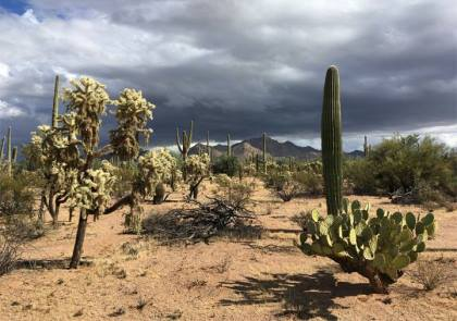A desert landscape with saguaro cactus, prickly pear, and cholla and thunderclouds in the background