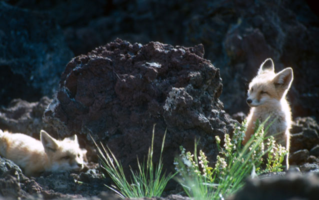 Fox pups near lava rock