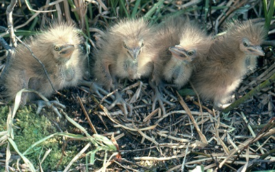 Four fluffy tan/ yellow Bittern chicks in a nest