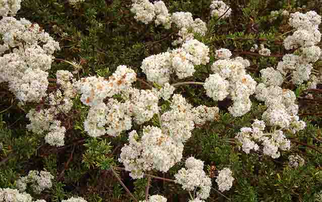 Flat Top Buckwheat.  One of the many plants used by the Kumeyaay Indians.