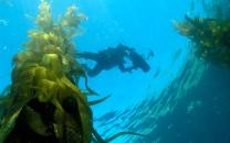 Diver in kelp forest.