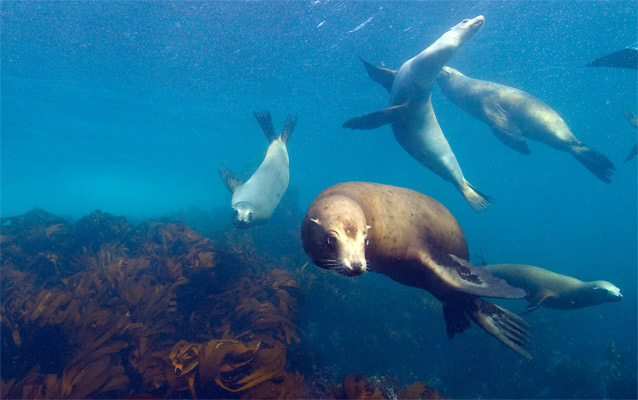 Sea lions swimming in kelp forest.
