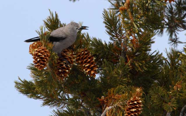 Clarks Nutcracker on pine tree