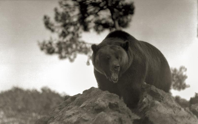 grizzly bear on rock