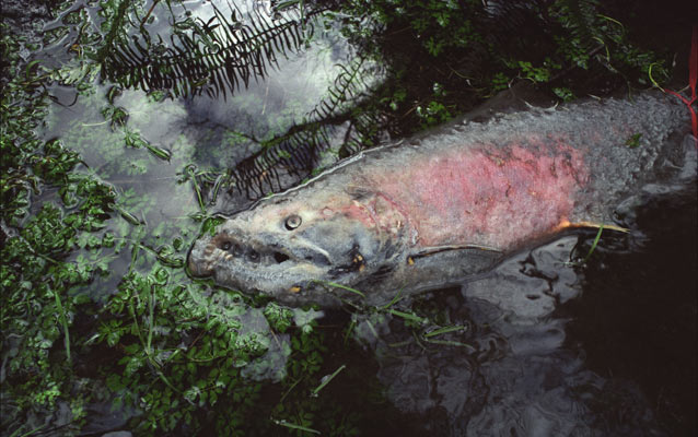 A salmon carcass floats in the river.
