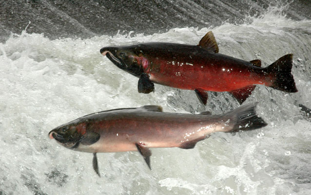 Salmon return upriver to spawn.
