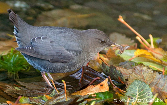 An American dipper with a meal on Lake Crescent.