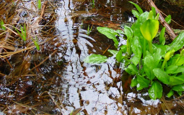 Water rippples besides skunk cabbage.