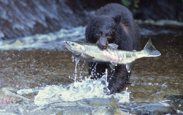 A black bear feasts on a salmon carcass.