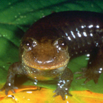 Salamander Research