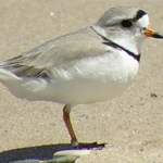 Great Lakes Piping Plover Survival