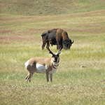 Bison and pronghorn are common animals of the prairie world