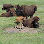 Bison were reintroduced to the the Wind Cave National Game Preserve in 1913