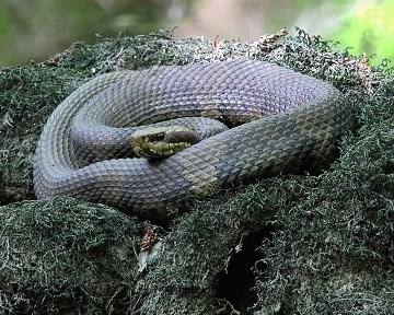 Snake coiled in moss