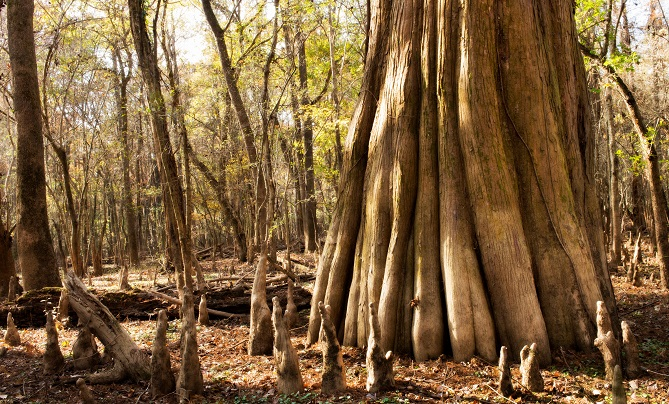Bald Cypress tree with knees