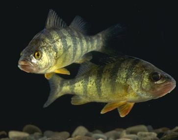 yellow perch swimming