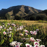 Bob Thompson Peak with a field of Pink-throated morning glories