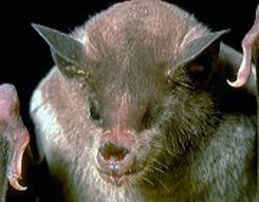 close-up view of a Lesser Long-nosed bat