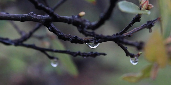 Water droplets hanging of an oak branch