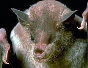 Close-up view of lesser long-nosed bat.
